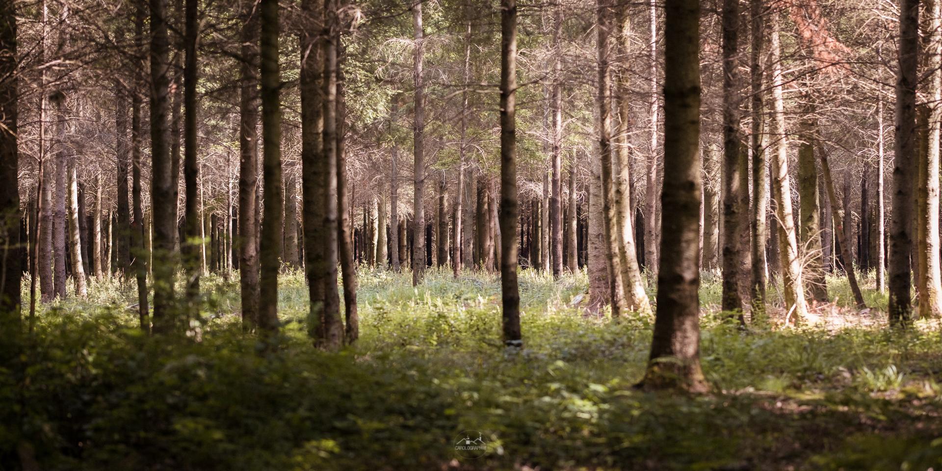 Plantation de pins de Douglas